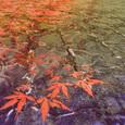 水に揺らぐ楓